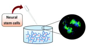 neural stem cells (NSCs) in cell therapy