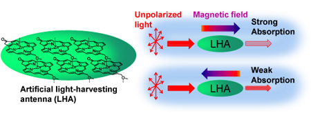 Magneto-chiral dichroism in artificial light-harvesting antenna