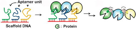 Programmable protein-protein conjugation via DNA-based self-assembly