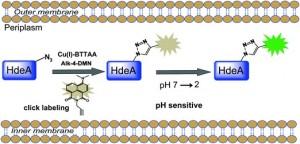 bioorthogonal protein chemistry