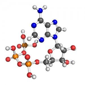 Molecule of adenosine-5'-triphosphate (ATP) - © Shutterstock