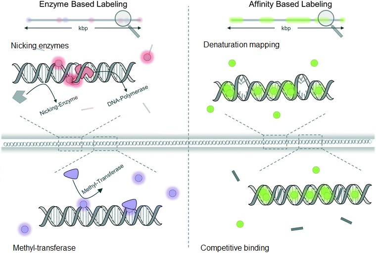 optical DNA mapping