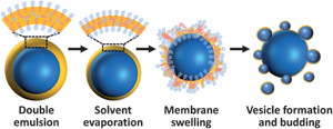 Vesicle budding from polymersomes templated by microfluidically prepared double emulsions