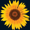 https://blogs.rsc.org/sc/files/2013/06/Small-Sunflower.jpg
