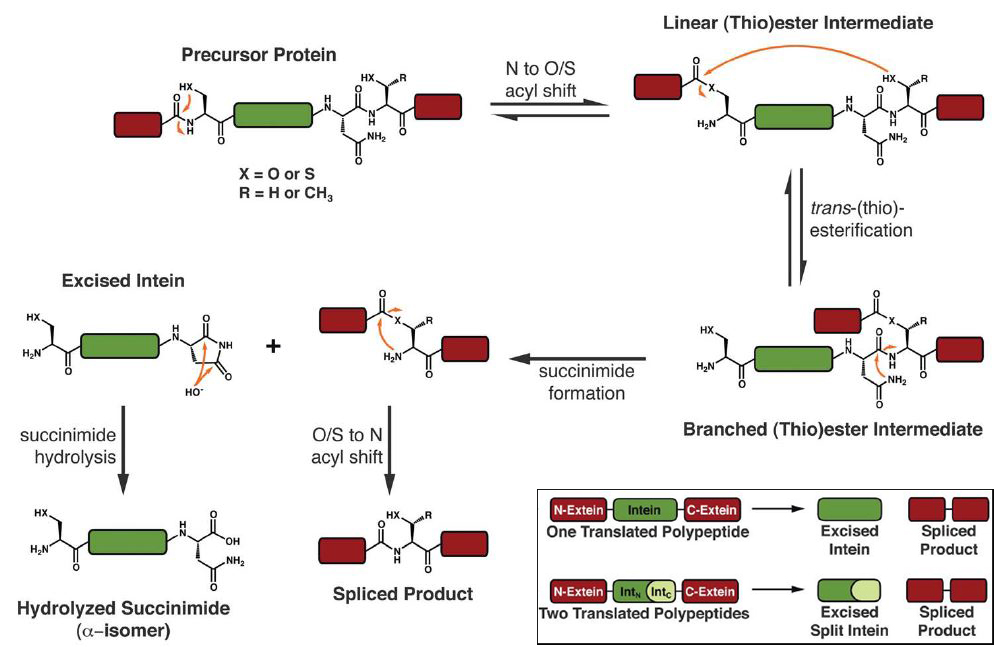 Mechanism of protein splicing
